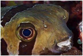 masked-porcupine-fish