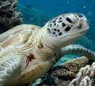 Turtles Diving Koh Lipe