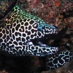 Honeycomb moray Marine Life Koh Lipe Thailand