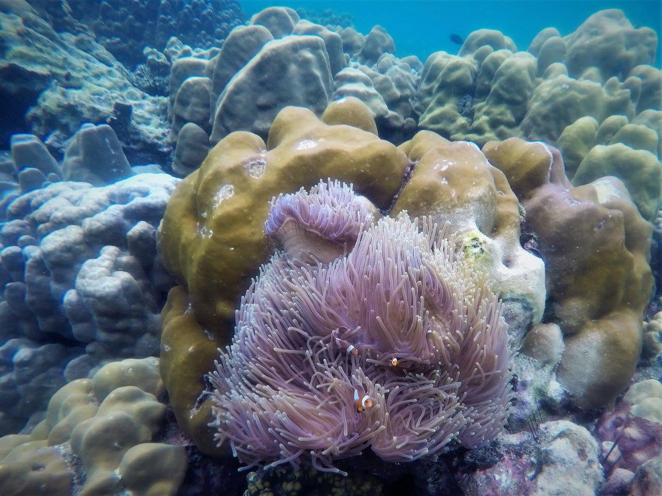 Snorkeling Tour Clown fish
