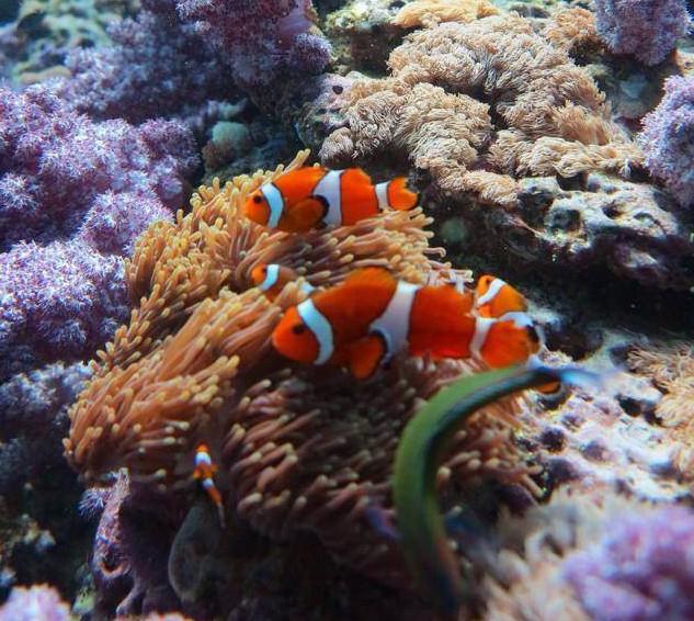 Clown Fish Leafy Soft Coral Koh Lipe Thailand