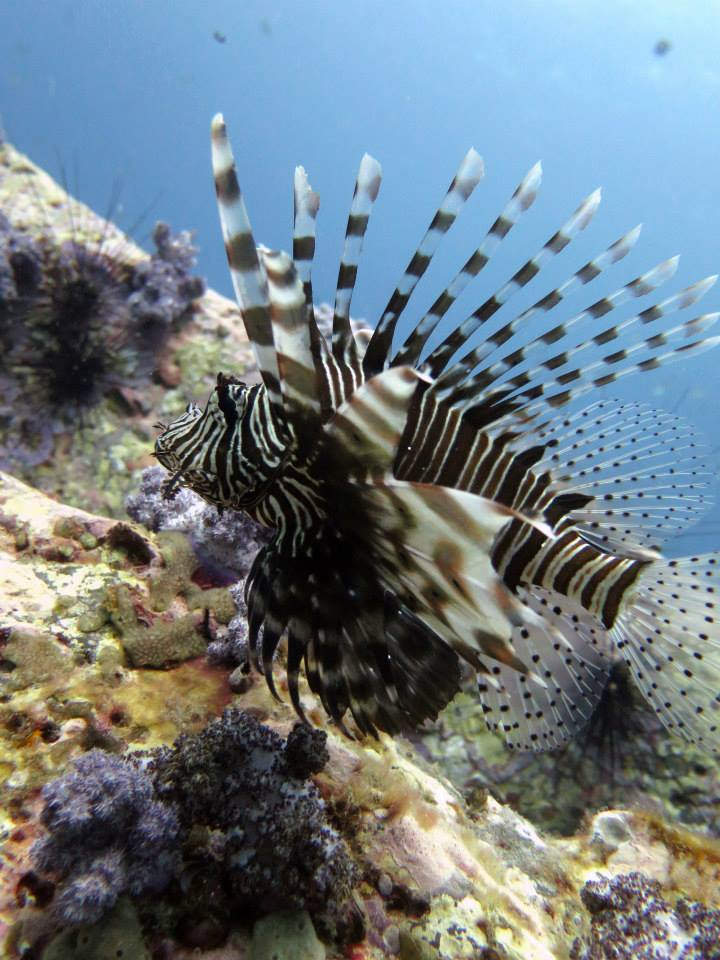 Pacific Lionfish Koh Lipe Marine Life Dive courses Thailand