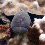 Giant Moray Marine Life Koh Lipe Thailand Dive Courses