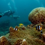 Clarks Anemone Fish Bubble coral divers Koh Lipe Thailand