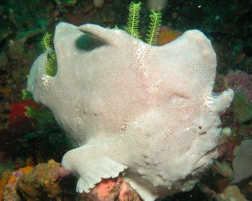 frogfish Koh Lipe Thailand