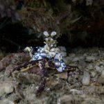 Harlequin Shrimp Ko Lipe Thailand