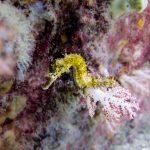 Yellow Tigertail Seahorse Ko Lipe