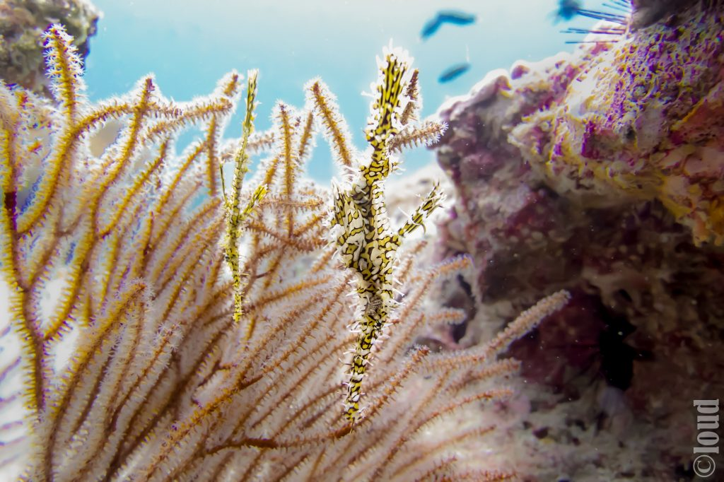 Ornate Ghost Pipefish Ko Lipe Thailand