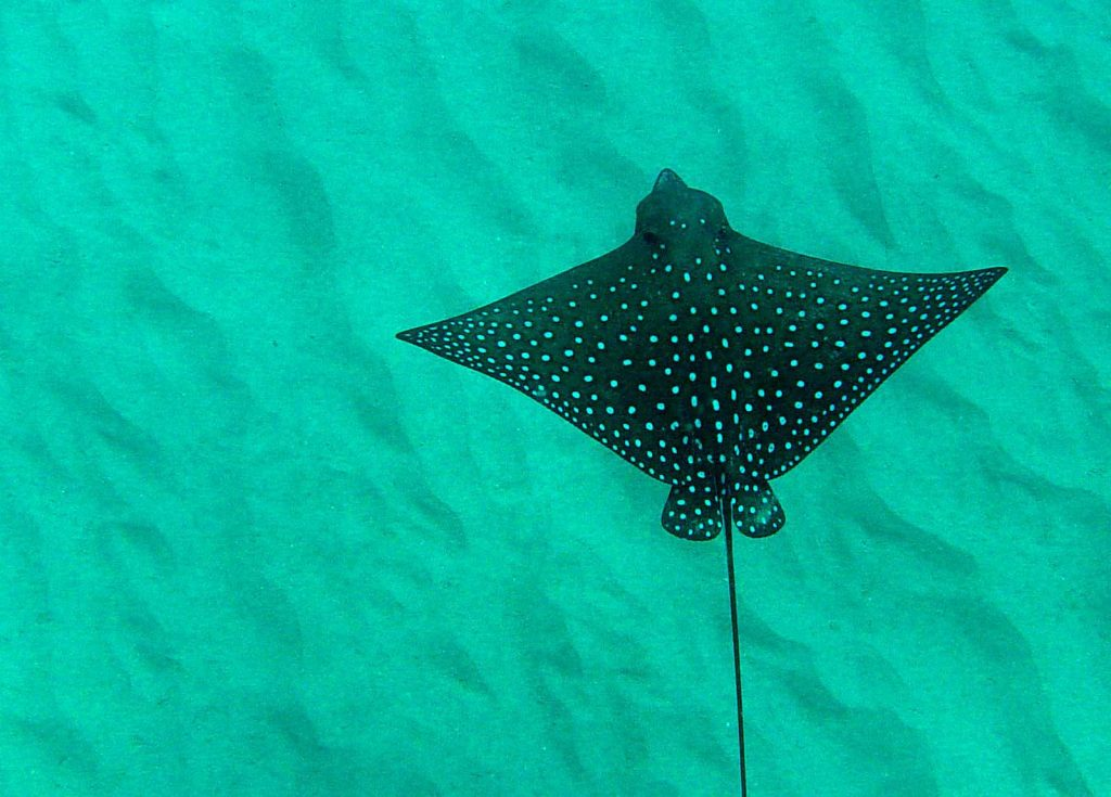 Spotted Eagle Ray Ko Lipe