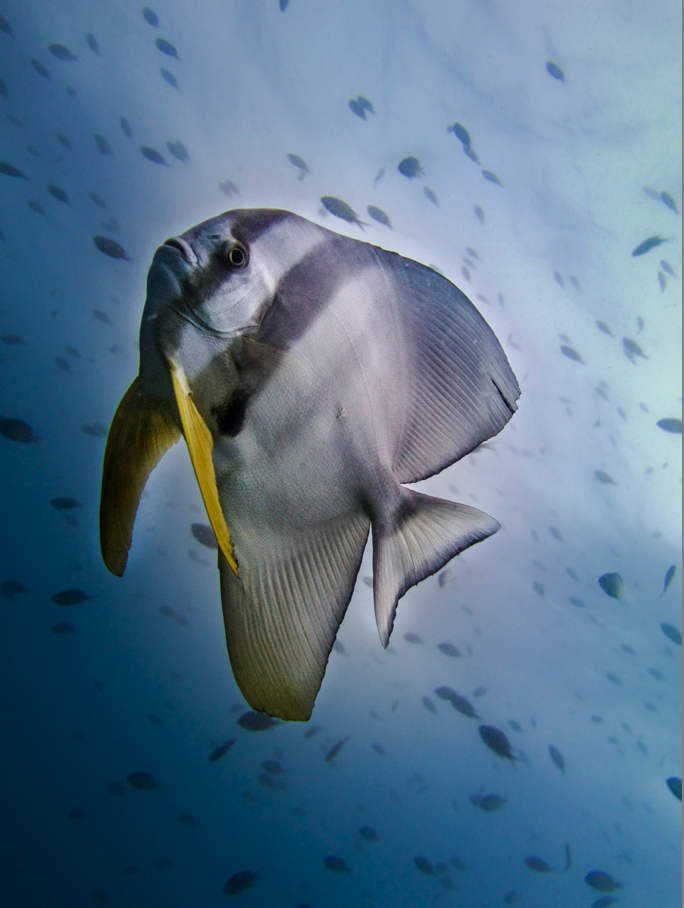 Discover SCUBA diving Ko Lipe Batfish